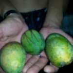 Mangos found by the pool