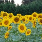 Sunflowers everywhere