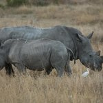 Rhino close by