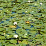 Lilypads on the pond