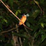 kingfisher at night