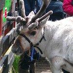 Reindeer Centre, Glenmore, Cairngorms