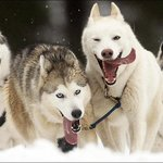 Sled Dog Races are an Annual Event