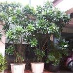 Amazing Champa Tree in Flower Pots