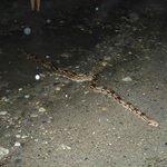 Encontramos una Boa de 4 m apróx. en estado natural.... MARAVILLOSA
