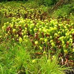 Darlingtonia State Natural Site, full of cobra lilies