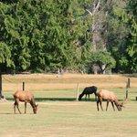 Elk in Packwood, WA