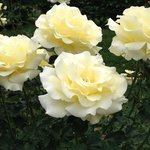 one of the many rose varieties