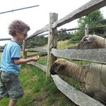 Feeding sheep at Cliff Farm