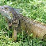 Un Iguana