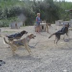 Deedee harnassing dogs for demonstration run