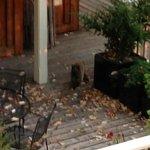 Cat in arbutus leaves