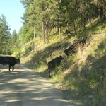 cattle crossing road on route to Oyama Lake