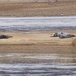 Seals on Loch Fleet sandbars
