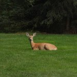 A deer resting in the backyard of the Candlewycke Inn
