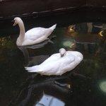 Swans in Lobby