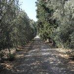 Olivenbäume um das Haus