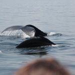 Three humpbacks and a  tourist