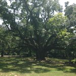The 250 year-old oak