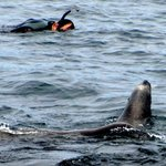 Sea Lion & Snorkler