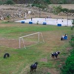 Cows on Soccer Field in Orosi