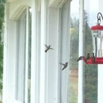 100's of Hummingbirds - wonderful!
