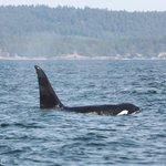 Killer Whale emerging