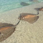 Harmless Sting Ray feeding (but don't step on them)