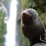 Kaikoura Seal pup in front of waterfall