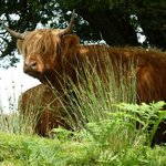 Highland Cattle on Exmoor