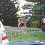 Deer grazing near parking lot.