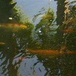 Fish from one of the ponds