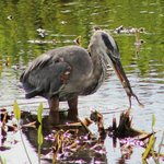 Blue Heron with frog