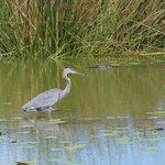 Blue Heron and Alligator
