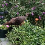 Wild mama turkey