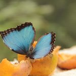 Morpho Azul