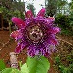 Passiflora cuadrangularis o granadilla