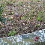 Bushbuck visiting