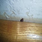 Bed Bug crawling on the headboard