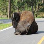 Buffalo enjoying the morning sunshine