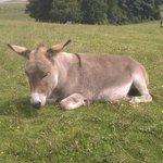 snoozing donkey