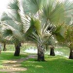 As lindas palmeiras de madagascar