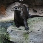 Otter at Pine Knoll Shores Aquarium