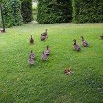 Petits canards dans le jardin