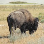 This Bison friend walked right in front of our car on Antelope Island!