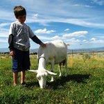 Farm Stay - Meet our beautiful Saanen goats