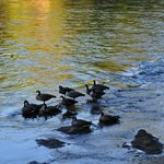 Wild geese out back on the river