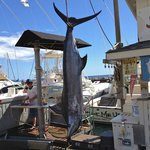 350lb blue marlin landed on Start Me Up August 8
