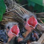 The Hungry Baby Blackbirds