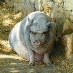 cochon japonais dans son enclos